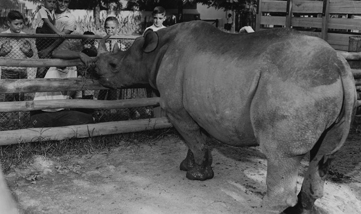 <strong> Cacareco no zoo do Rio de Janeiro,</strong> horas antes de embarcar para S&atilde;o Paulo. Ele foi o primeiro rinoceronte a nascer no Brasil e o &ldquo;candidato&rdquo; mais votado nas elei&ccedil;&otilde;es para vereador de outubro de 1958 na cidade de S&atilde;o Paulo